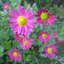 Chrysanthemum_pink_2012
