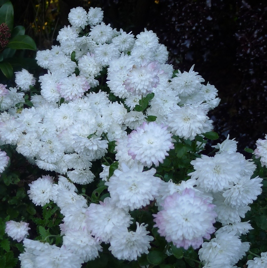 Chrysanthemum (white) - 2012 (Chrysanthemum)
