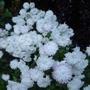 Chrysanthemum_white_2012