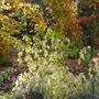 Autumn colours (Cornus)