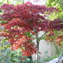 Little Acer (Acer)
