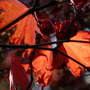 Fiery Acer leaves (Acer)