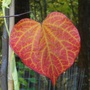 Single Leaf of Forest Pansy Redbud tree (Cercis canadensis 'Forest Pansy')