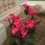 Flowering Dwarf Pink Canna (Dwarf Pink Canna)