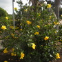 Hibiscus rosa-sinensis 'Butterball' (Hibiscus rosa-sinensis 'Butterball')
