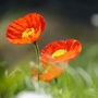 Poppies from My Blog Last Afternoon