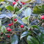 Holly berries on the hedge (Ilex)