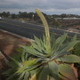 Agave attenuata - Fox Tail Agave (Agave attenuata - Fox Tail Agave)