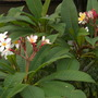 Plumeria rubra 'Pink Pastel'? (Plumeria rubra 'Pink Pastel')