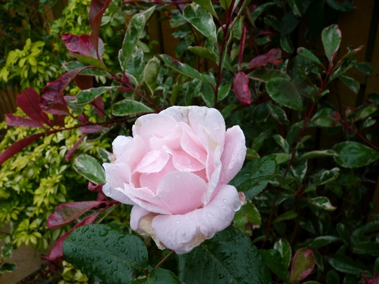Rosa 'Queen Elizabeth' in the rain today