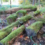 Natures reclaimation crew...moss on logs