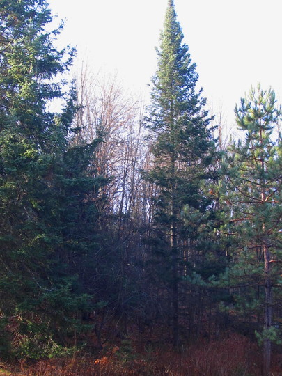 Two of the tallest trees on our property.. (Abies procera (Noble Fir))