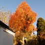 Looking good! (Taxodium distichum (Swamp cypress))