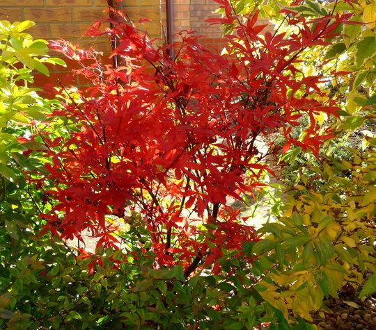 Acer Palmatum Skeeters Broom Grows On You