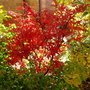 Acer palmatum 'Skeeter's Broom' (Acer palmatum 'Skeeter's Broom')