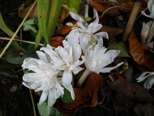 Colchicum autumnale alba plena (Colchicum autumnale alba plena)