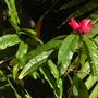 Pavonia milutiflora - Brazilian Candles (Pavonia milutiflora - Brazilian Candles)