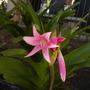 Crinum Pink hybrid (Crinum Pink hybrid)