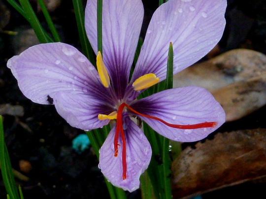 Crocus Sativus  ...   Saffron Crocus .....