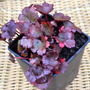 Saxifraga fortunei Black Ruby...  (Saxifraga fortunei Black Ruby.)