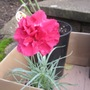 Dianthus Houndspool Ruby (Dianthus)