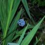 Blue_Allium.jpg