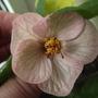 Abutilon (Abutilon grandifolium)