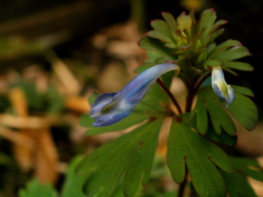 Corydalis Flexuosa ' China Blue ' (corydalis flexuosa china blue)