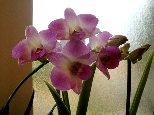 Dendrobium (Dendrobium Phalanopsis)