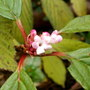 Viburnam Dawn (viburnum bodnantense dawn)