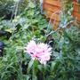 pink poppy.jpg