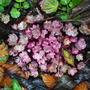 Saxifraga fortunei Crystal pink (2012) (Saxifraga fortunei Crystal pink)