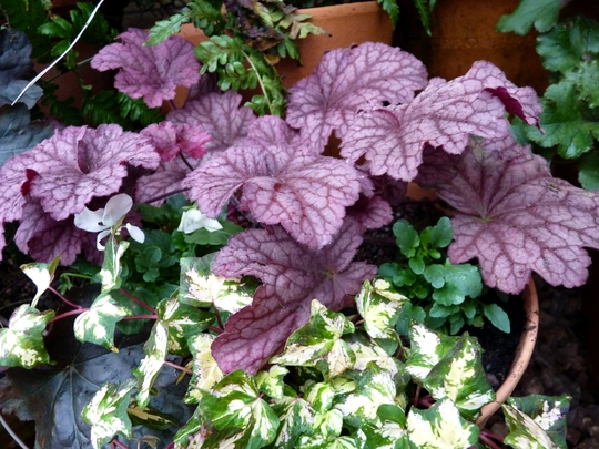 Heuchera 'Berry Smoothie' with viola and ivy.