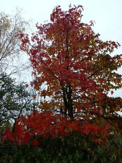 Liquidamber Tree ........... For Hywel .......... (Styraciflua)