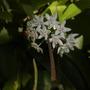 Hoya australis - Wax Vine (Hoya australis (Porcelain Flower))