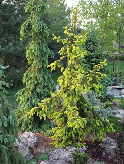 Picea abies 'Gold Drift' in evening sun