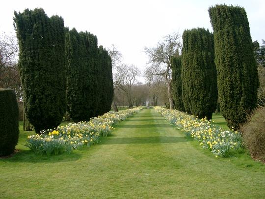 Daffodils and Irish Yews