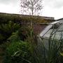 Eryngium pandanifolium (Eryingium pandanifolium)