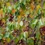 Wild Prunus virginiana var. melanocarpa (Prunus virginiana)