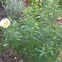 Cistus × aguilarii 'Maculatus' ☼ Full sun ℃ Frost tender -5 ★ Award ✿Evergreen  (Cistus × aguilarii 'Maculatus')