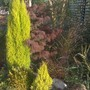 Tall_conifers