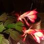 My faithful Christmas Cacti