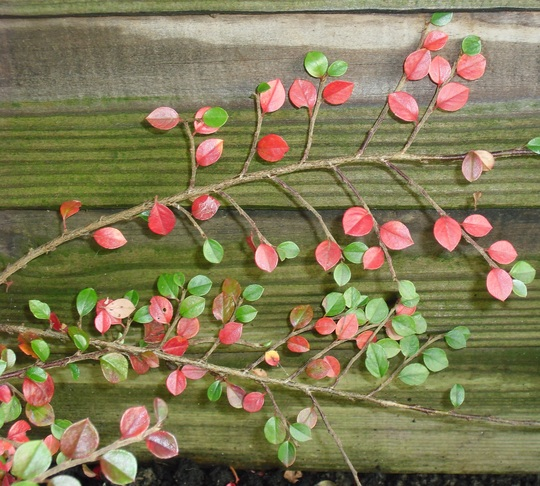 Cotoneaster horizontalis (Cotoneaster horizontalis (Cotoneaster))