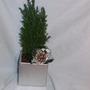 Miniature Conifer