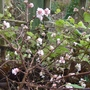 Viburnum farreri 'Nanum' - 2012 (Viburnum farreri 'Nanum')