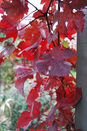 Vitis in the sunshine..... (Vitis vinifera (Grape vine)Purpurea)
