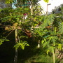 Carica papaya 'Red Caribbean' - Red Caribbean Papaya Plants (Carica papaya 'Red Caribbean' - Red Caribbean Papaya)