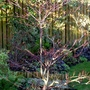 Cornus Controversa Variegata - Wedding Cake Tree (Cornus Controversa Variegata)