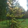 Rather a nice monkey puzzle tree