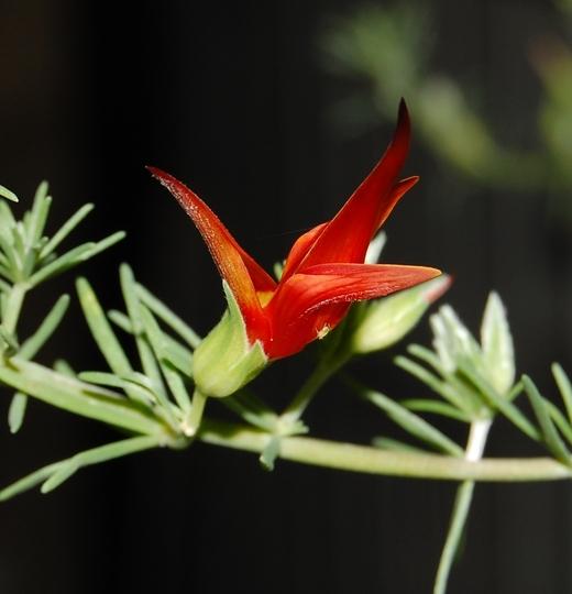 Surprising! Lotus berthelottii in November! (Lotus berthelotii (Parrot's bill))
